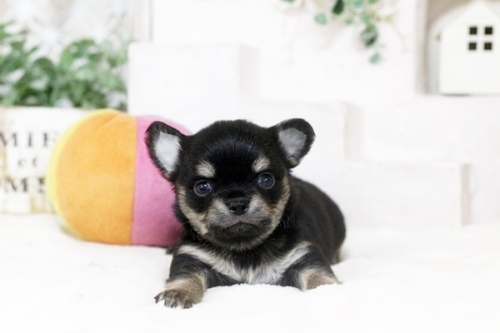 チワワ(ロング)の子犬(ID:1255411886)の1枚目の写真/更新日:2018-02-05