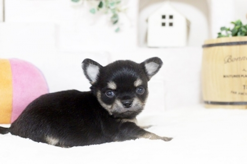 チワワ(ロング)の子犬(ID:1255411886)の2枚目の写真/更新日:2018-02-05