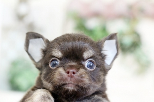 チワワ(ロング)の子犬(ID:1255411887)の1枚目の写真/更新日:2018-06-05