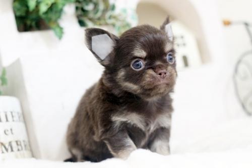 チワワ(ロング)の子犬(ID:1255411887)の2枚目の写真/更新日:2018-02-05