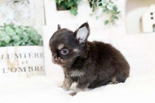チワワ(ロング)の子犬(ID:1255411887)の3枚目の写真/更新日:2018-06-05