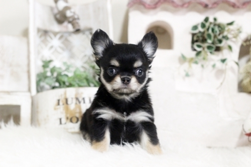 チワワ(ロング)の子犬(ID:1255411888)の1枚目の写真/更新日:2018-02-05