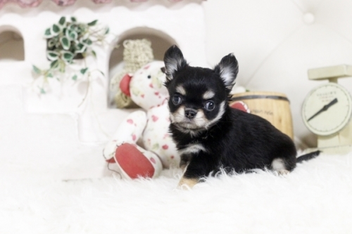 チワワ(ロング)の子犬(ID:1255411888)の2枚目の写真/更新日:2018-02-05