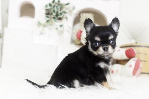 チワワ(ロング)の子犬(ID:1255411888)の3枚目の写真/更新日:2018-02-05