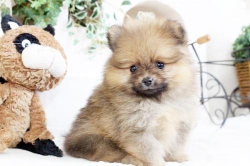 ポメラニアンの子犬(ID:1255411889)の1枚目の写真/更新日:2018-02-11