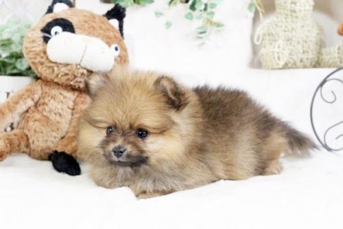 ポメラニアンの子犬(ID:1255411889)の2枚目の写真/更新日:2018-02-11