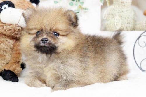ポメラニアンの子犬(ID:1255411889)の3枚目の写真/更新日:2018-02-11