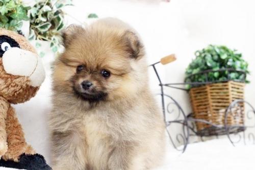 ポメラニアンの子犬(ID:1255411889)の4枚目の写真/更新日:2018-02-11