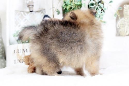 ポメラニアンの子犬(ID:1255411889)の5枚目の写真/更新日:2018-02-11