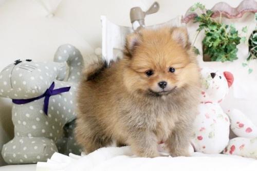 ポメラニアンの子犬(ID:1255411890)の1枚目の写真/更新日:2018-02-11