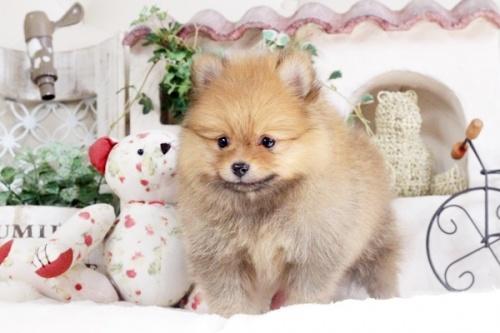 ポメラニアンの子犬(ID:1255411890)の2枚目の写真/更新日:2018-02-11