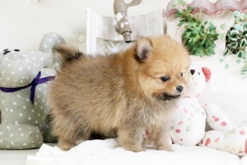 ポメラニアンの子犬(ID:1255411890)の3枚目の写真/更新日:2018-02-11