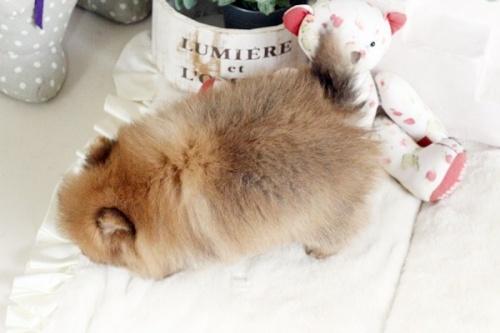 ポメラニアンの子犬(ID:1255411890)の4枚目の写真/更新日:2018-02-11