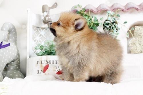 ポメラニアンの子犬(ID:1255411890)の5枚目の写真/更新日:2018-02-11