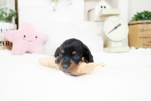 カニンヘンダックスフンド(ワイアー)の子犬(ID:1255411891)の1枚目の写真/更新日:2019-04-23