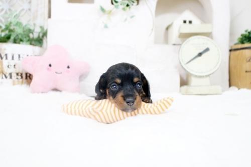 カニンヘンダックスフンド(ワイアー)の子犬(ID:1255411891)の3枚目の写真/更新日:2019-04-23