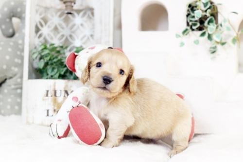 カニンヘンダックスフンド(ワイアー)の子犬(ID:1255411892)の1枚目の写真/更新日:2018-02-11