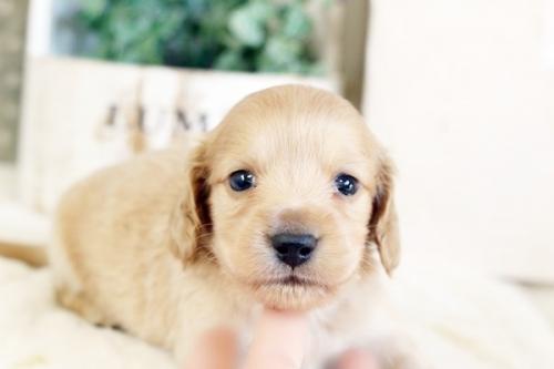 カニンヘンダックスフンド(ワイアー)の子犬(ID:1255411892)の2枚目の写真/更新日:2019-04-23