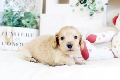 カニンヘンダックスフンド(ワイアー)の子犬(ID:1255411892)の3枚目の写真/更新日:2018-02-11