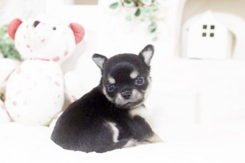 チワワ(ロング)の子犬(ID:1255411893)の1枚目の写真/更新日:2018-08-10