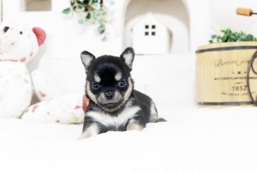 チワワ(ロング)の子犬(ID:1255411893)の2枚目の写真/更新日:2018-08-10