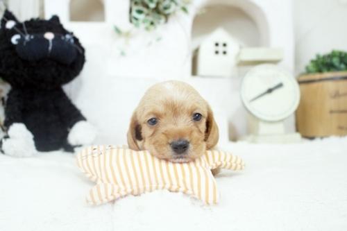 カニンヘンダックスフンド(ロング)の子犬(ID:1255411894)の1枚目の写真/更新日:2019-04-23