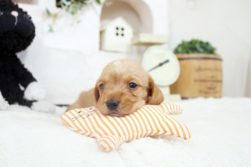 カニンヘンダックスフンド(ロング)の子犬(ID:1255411894)の2枚目の写真/更新日:2018-02-21