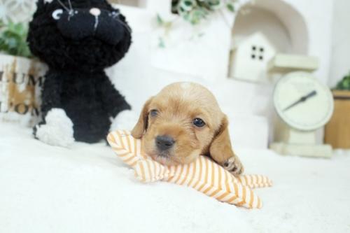 カニンヘンダックスフンド(ロング)の子犬(ID:1255411894)の3枚目の写真/更新日:2019-04-23