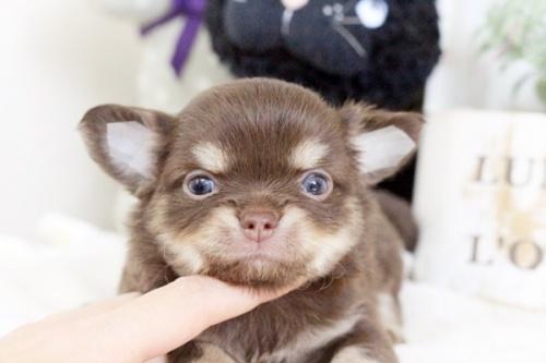 チワワ(ロング)の子犬(ID:1255411896)の1枚目の写真/更新日:2018-02-21