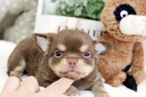 チワワ(ロング)の子犬(ID:1255411897)の1枚目の写真/更新日:2018-02-21