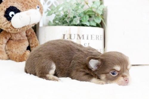 チワワ(ロング)の子犬(ID:1255411897)の2枚目の写真/更新日:2018-02-21
