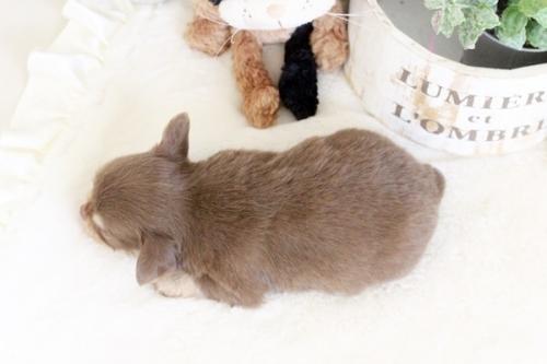 チワワ(ロング)の子犬(ID:1255411897)の3枚目の写真/更新日:2018-02-21