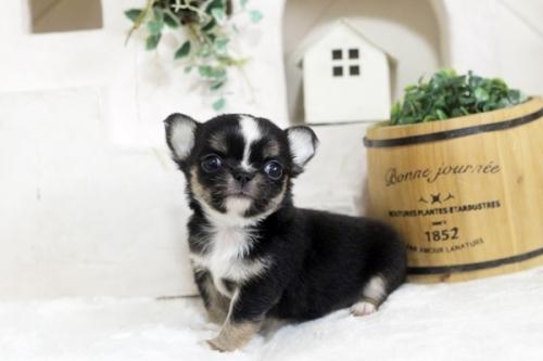 チワワ(ロング)の子犬(ID:1255411898)の1枚目の写真/更新日:2018-07-09