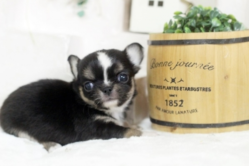 チワワ(ロング)の子犬(ID:1255411898)の2枚目の写真/更新日:2018-02-21