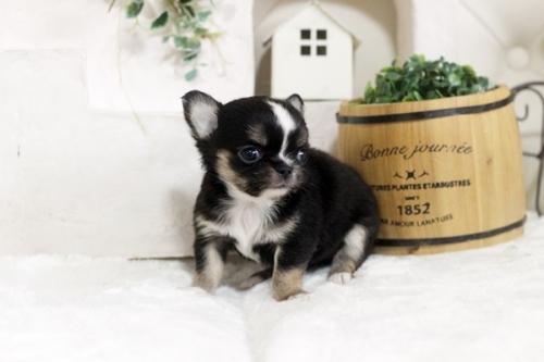 チワワ(ロング)の子犬(ID:1255411898)の3枚目の写真/更新日:2018-07-09