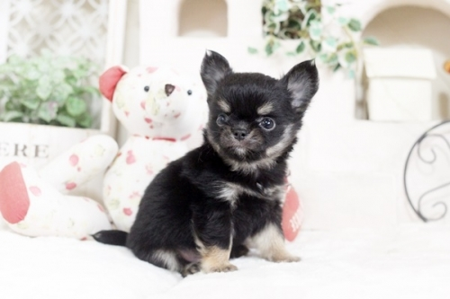 チワワ(ロング)の子犬(ID:1255411899)の1枚目の写真/更新日:2018-02-21
