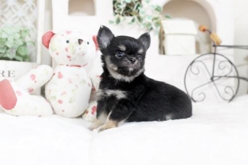 チワワ(ロング)の子犬(ID:1255411899)の2枚目の写真/更新日:2018-05-28