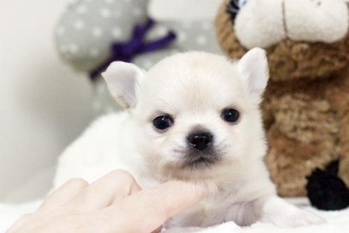 チワワ(ロング)の子犬(ID:1255411900)の1枚目の写真/更新日:2018-02-21