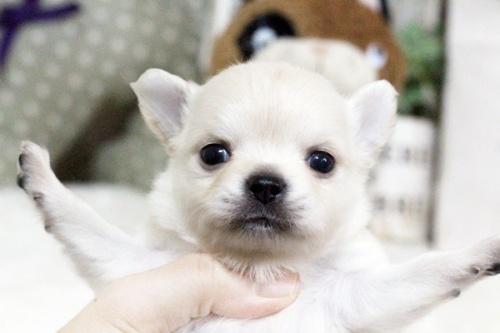 チワワ(ロング)の子犬(ID:1255411900)の2枚目の写真/更新日:2018-02-21
