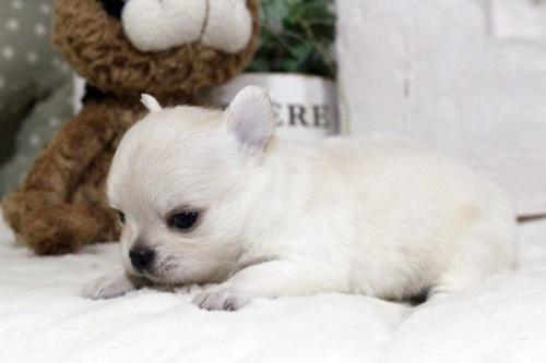 チワワ(ロング)の子犬(ID:1255411900)の3枚目の写真/更新日:2018-02-21