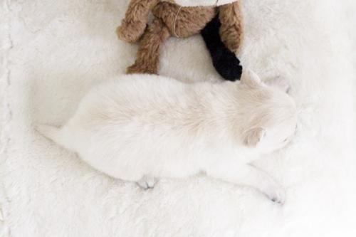 チワワ(ロング)の子犬(ID:1255411900)の4枚目の写真/更新日:2018-02-21