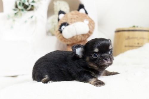 チワワ(ロング)の子犬(ID:1255411901)の3枚目の写真/更新日:2018-02-21