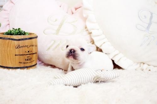 フレンチブルドッグの子犬(ID:1255411902)の1枚目の写真/更新日:2018-02-21