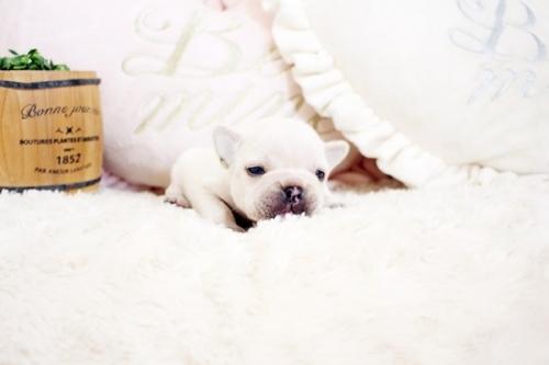 フレンチブルドッグの子犬(ID:1255411902)の3枚目の写真/更新日:2018-02-21