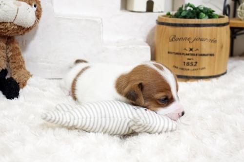 ジャックラッセルテリアの子犬(ID:1255411903)の2枚目の写真/更新日:2018-03-27