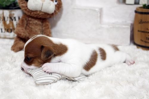 ジャックラッセルテリアの子犬(ID:1255411903)の3枚目の写真/更新日:2020-01-07
