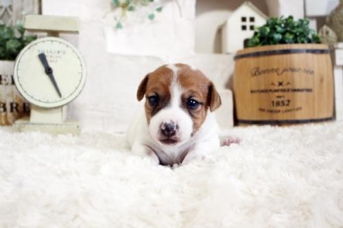 ジャックラッセルテリアの子犬(ID:1255411904)の2枚目の写真/更新日:2020-02-10