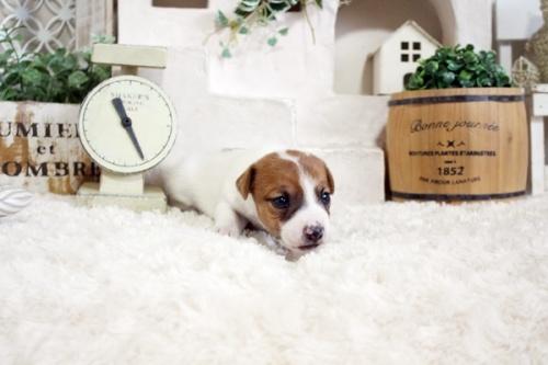 ジャックラッセルテリアの子犬(ID:1255411904)の3枚目の写真/更新日:2018-03-27