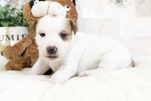 ジャックラッセルテリアの子犬(ID:1255411905)の1枚目の写真/更新日:2018-02-22