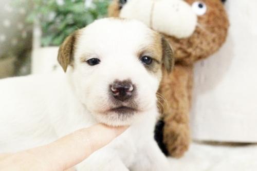 ジャックラッセルテリアの子犬(ID:1255411905)の2枚目の写真/更新日:2018-02-22